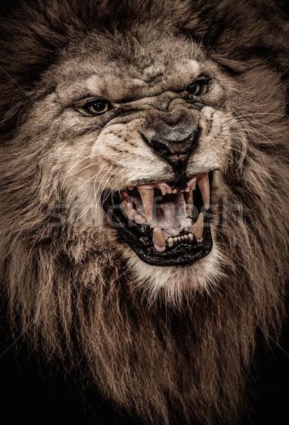 Shot lew usta Afryki głowie Zdjęcia stock © Nejron