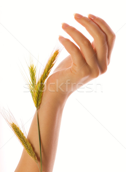 Woman hands holding a wheat isolated over white Stock photo © Nejron