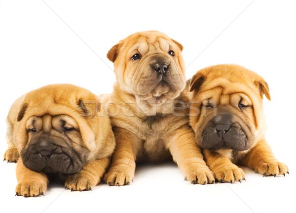Stock fotó: Csoport · három · gyönyörű · sharpei · kiskutyák · izolált