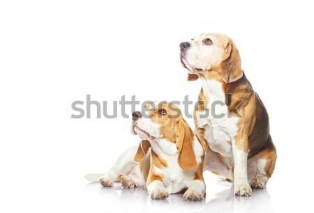 Stok fotoğraf: Iki · tazı · köpekler · yalıtılmış · beyaz · köpek