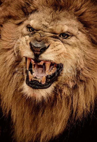 Сток-фото: выстрел · лев · рот · Африка · голову
