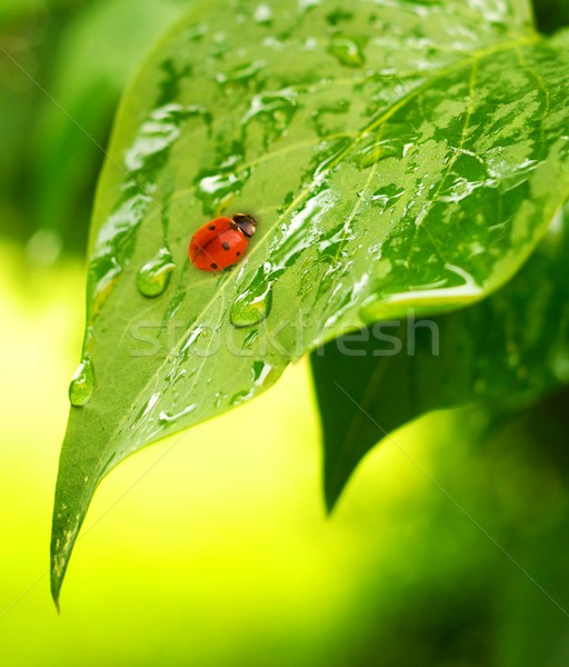 Ladybug on a fresh green leaves Stock photo © Nejron