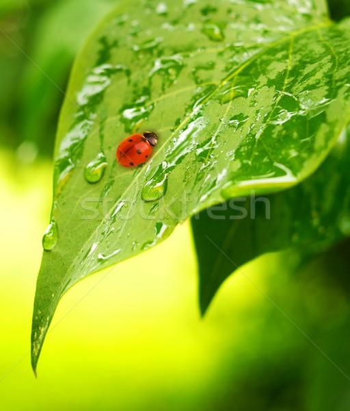 Ladybug свежие зеленые листья воды аннотация природы Сток-фото © Nejron