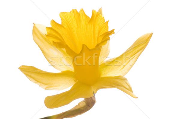 Gelbe Blume Frühling Hintergrund Schönheit schönen Narzisse Stock foto © Nejron