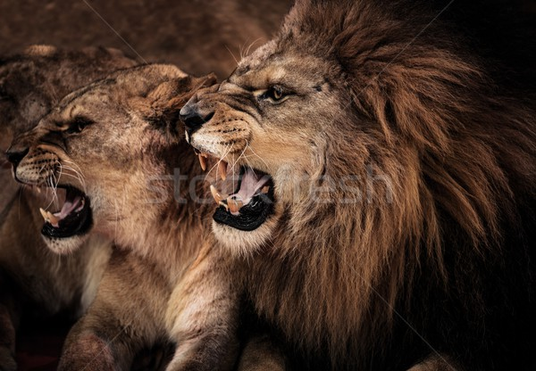 Close-up shot of roaring lion and lioness  Stock photo © Nejron