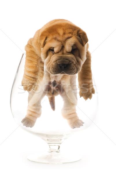 Sharpei köpek yavrusu içinde cam yalıtılmış beyaz Stok fotoğraf © Nejron