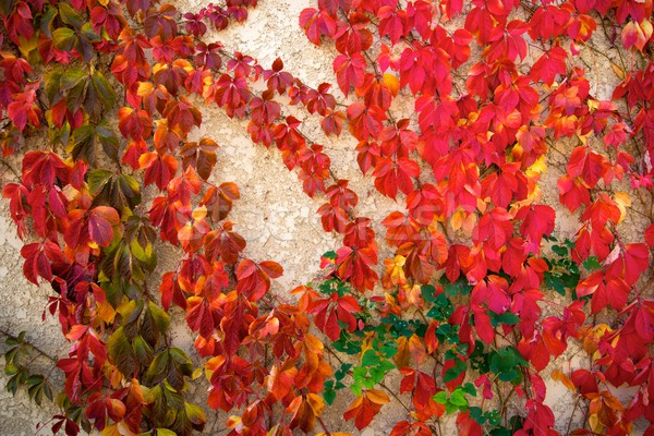 Beautiful red leaves on concrete background Stock photo © Nejron