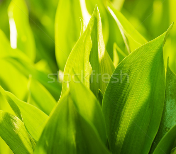 свежие зеленая трава мелкий солнце аннотация Сток-фото © Nejron