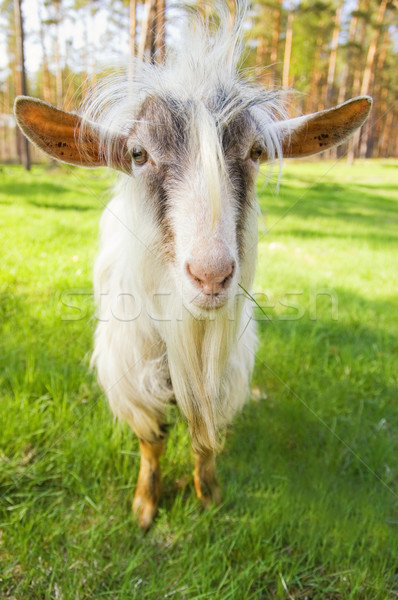 Funny goat on a meadow chewing fresh geen grass Stock photo © Nejron