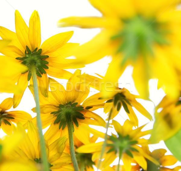 黄色の花 白 花 太陽 葉 背景 ストックフォト © Nejron