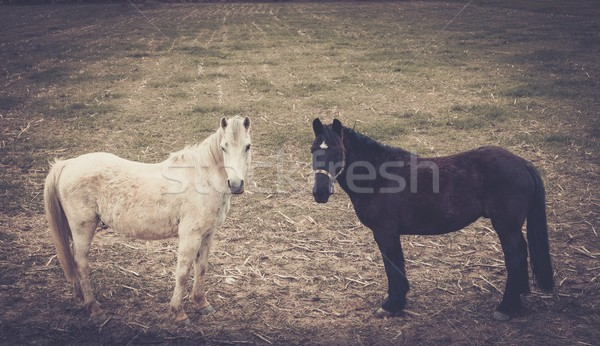 Two horses standing on a meadow  Stock photo © Nejron