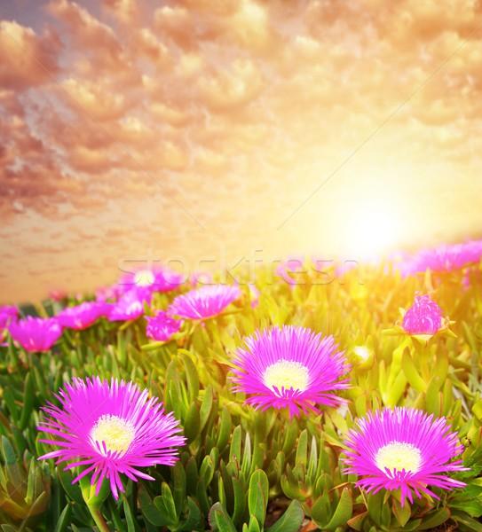 Belle ciel champ de fleurs printemps été domaine Photo stock © Nejron