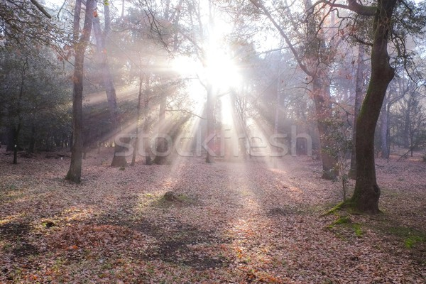Sunlight in autumn forest Stock photo © Nejron