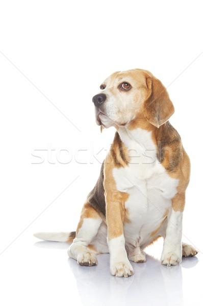 Bigle cão isolado branco fundo retrato Foto stock © Nejron