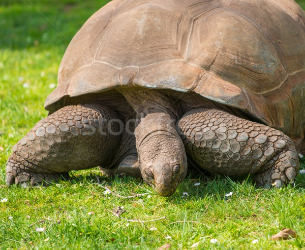 Galapagos tortoise on a green meadow Stock photo © Nejron