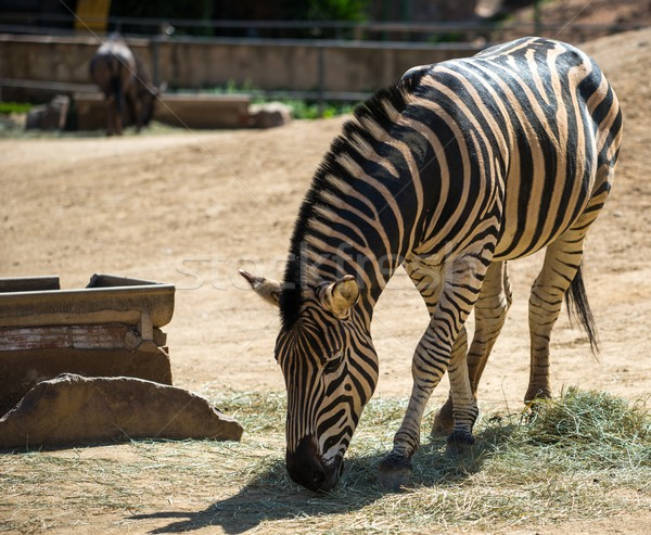 Zebra eating hay in a zoo Stock photo © Nejron