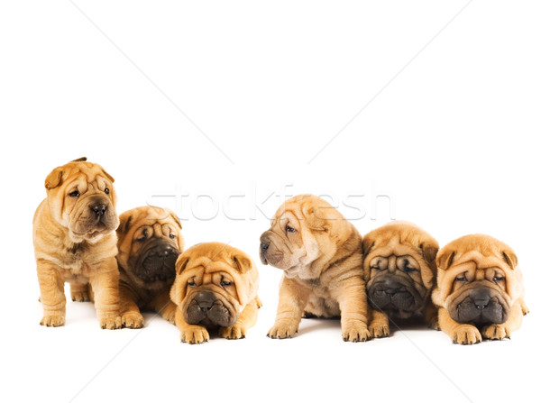 Group of beautiful sharpei puppies isolated on white background Stock photo © Nejron