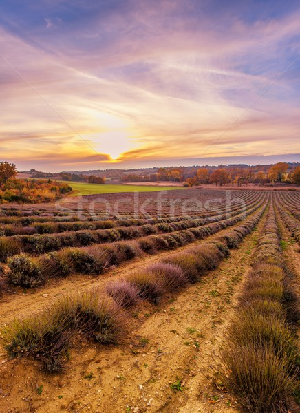 Colorful sky over lavender field Stock photo © Nejron