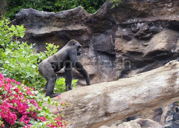 Foto gorila aire libre árbol forestales fondo Foto stock © Nejron