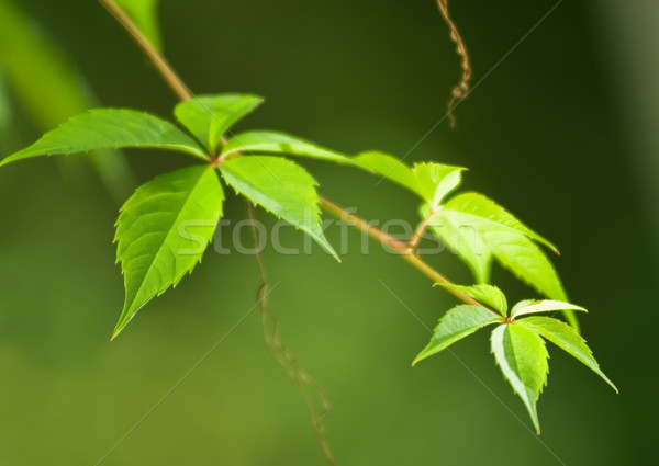 Green leaves on blurred background (soft focus close-up shot) Stock photo © Nejron