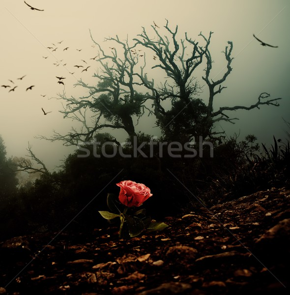 Red rose growing through soil against spooky tree Stock photo © Nejron