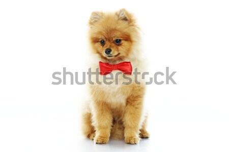 Kicsi vicces csokornyakkendő kutya háttér fiatal Stock fotó © Nejron