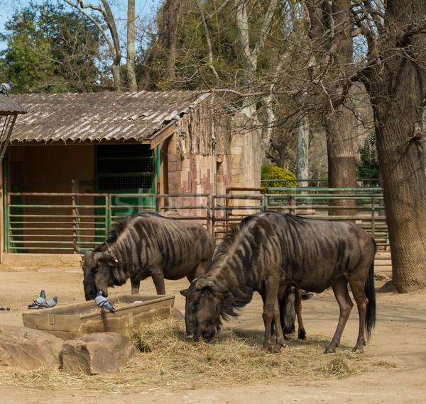Two antelopes eating in a zoo Stock photo © Nejron