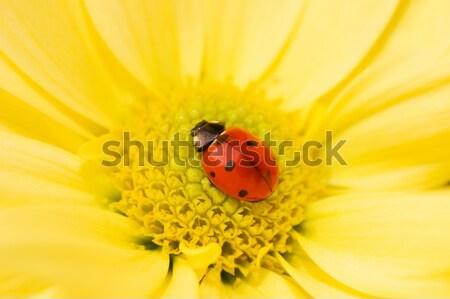 Pequeno joaninha adormecido flor amarela verão campo Foto stock © Nejron