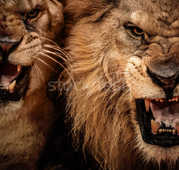 Close-up shot of two roaring lion Stock photo © Nejron