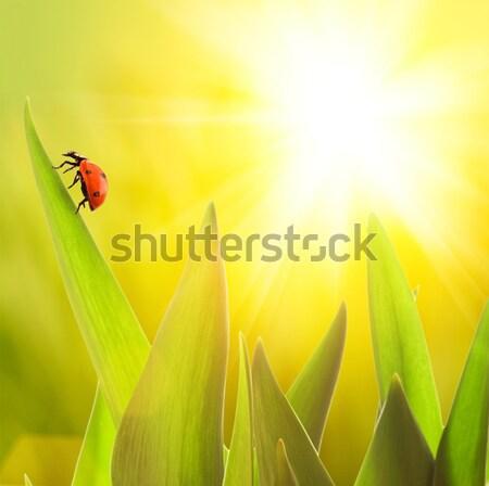 Katicabogár ül zöld fű levél háttér nyár Stock fotó © Nejron