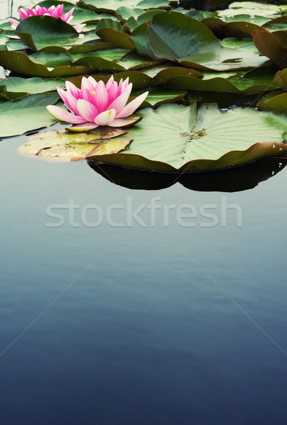 Beautiful pink water lilly Stock photo © Nejron