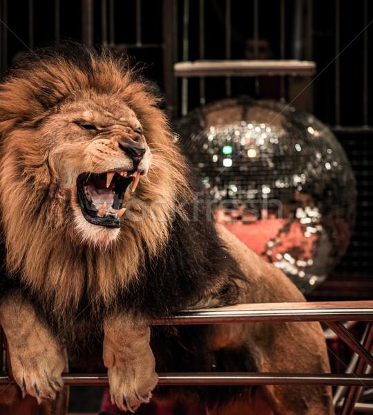 Közelkép lövés káprázatos oroszlán cirkusz aréna Stock fotó © Nejron