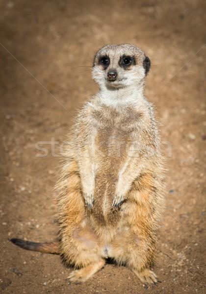 Cute meerkat standing Stock photo © Nejron