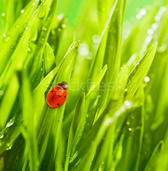 Coccinelle séance herbe verte eau printemps herbe Photo stock © Nejron
