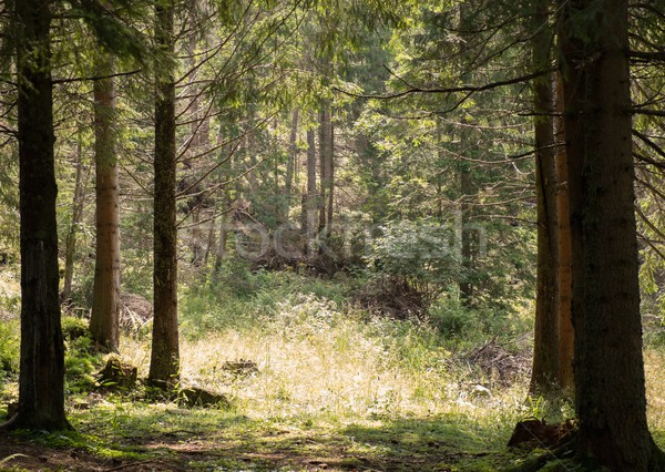 Beautiful forest on a sunny day  Stock photo © Nejron