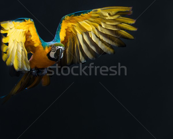 Colourful flying Ara on a dark background  Stock photo © Nejron