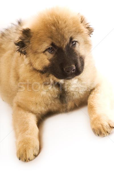ストックフォト: 白人 · 羊飼い · 子犬 · 孤立した · 白 · 犬