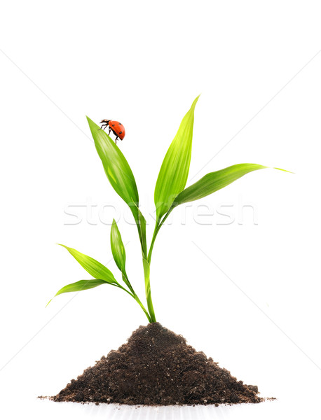 Young plant and a small ladybug sitting on it's leaf Stock photo © Nejron