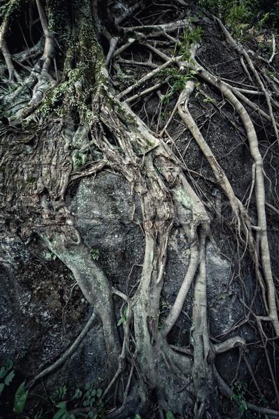 ősi gyökér természet háttér zöld növények Stock fotó © Nejron