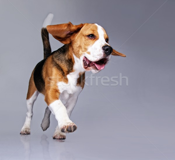 Beagle cucciolo isolato grigio cane sfondo Foto d'archivio © Nejron