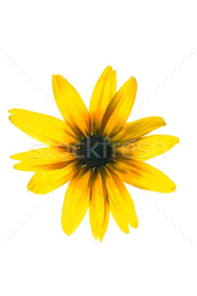 желтый цветок изолированный белый природы саду фон Сток-фото © Nejron