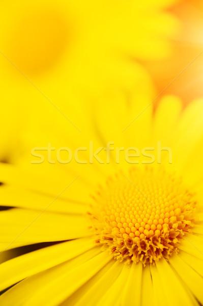 żółte kwiaty streszczenie charakter zdrowia tle dziedzinie Zdjęcia stock © Nejron