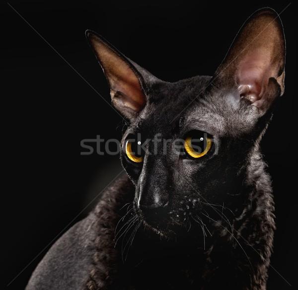 Black Cornish Rex cat Stock photo © Nejron