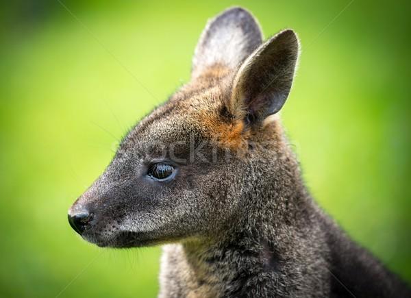 Gyönyörű agilis kő citromsárga kenguru szőr Stock fotó © Nejron