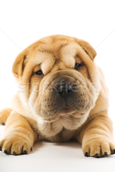 Foto stock: Engraçado · sharpei · cachorro · isolado · branco · cara
