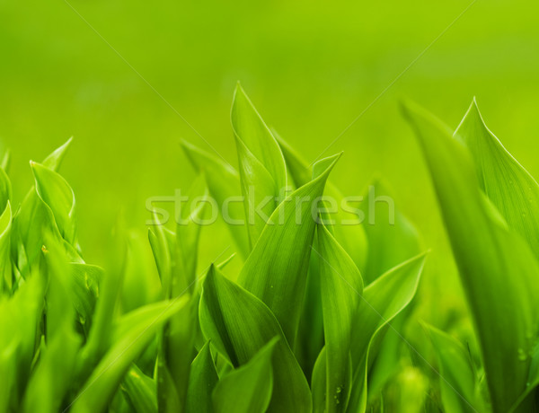 Fresh green grass (shallow DoF) Stock photo © Nejron