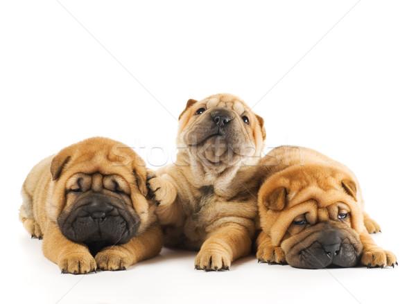 Grupo três belo sharpei filhotes de cachorro isolado Foto stock © Nejron