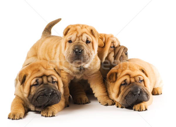 Photo stock: Groupe · belle · sharpei · chiots · isolé · blanche