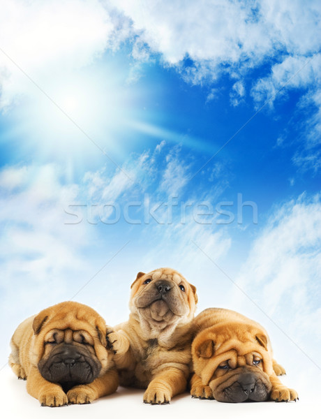 Groupe trois belle sharpei chiots printemps Photo stock © Nejron