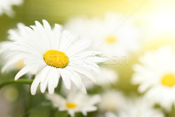 Zdjęcia stock: Rumianek · dziedzinie · kwiat · wiosną · tle · piękna